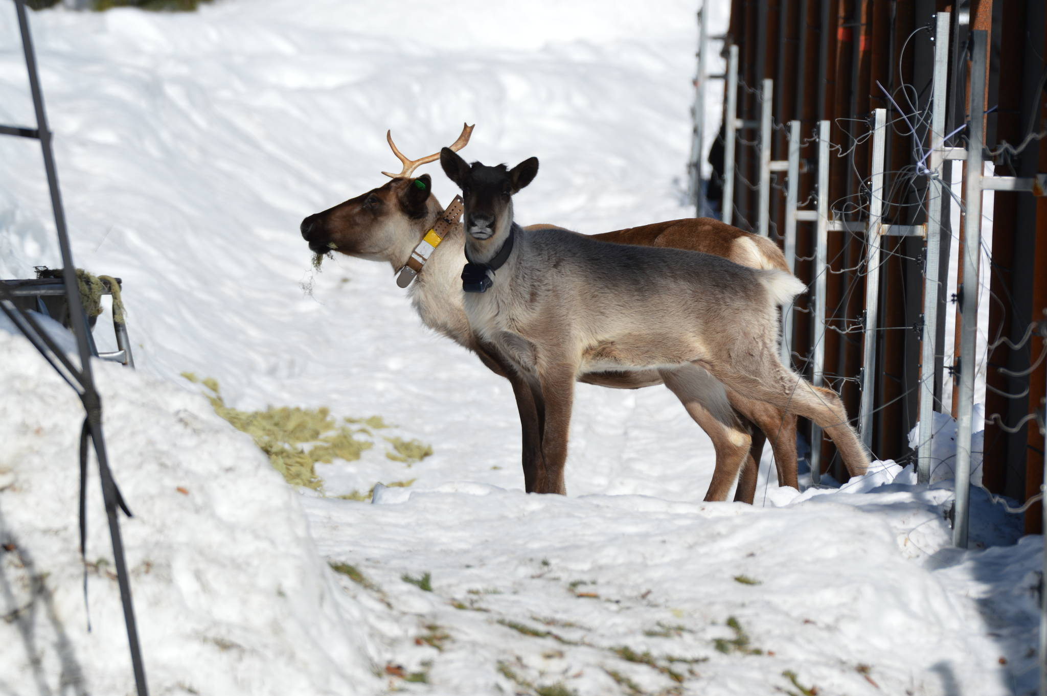 Grace, an orphaned calf who called the Revelstoke maternity pen home for a year and a half, took her first steps into the wild in the spring of 2019. The caribou in the background is one of the five caribou from the now locally extinct south Selkirk and Purcell herds. (Photo by Ministry of Forests, Lands, Natural Resource Operations and Rural Development)
