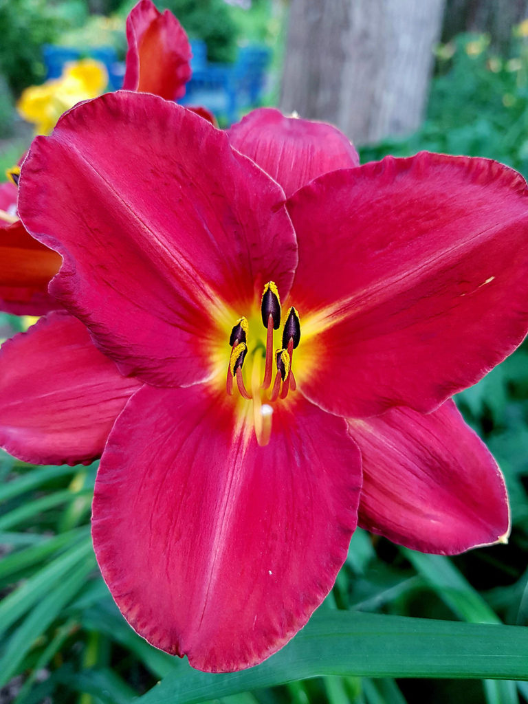A vibrant red new daylily has been officially named after the late Debbie Froese. The few plants already available are being sold to raise money for Froese's charity of choice, and names are being put on a waiting list for divisions of the perennial for next year. (Pam Erikson/Special to Langley Advance Times)