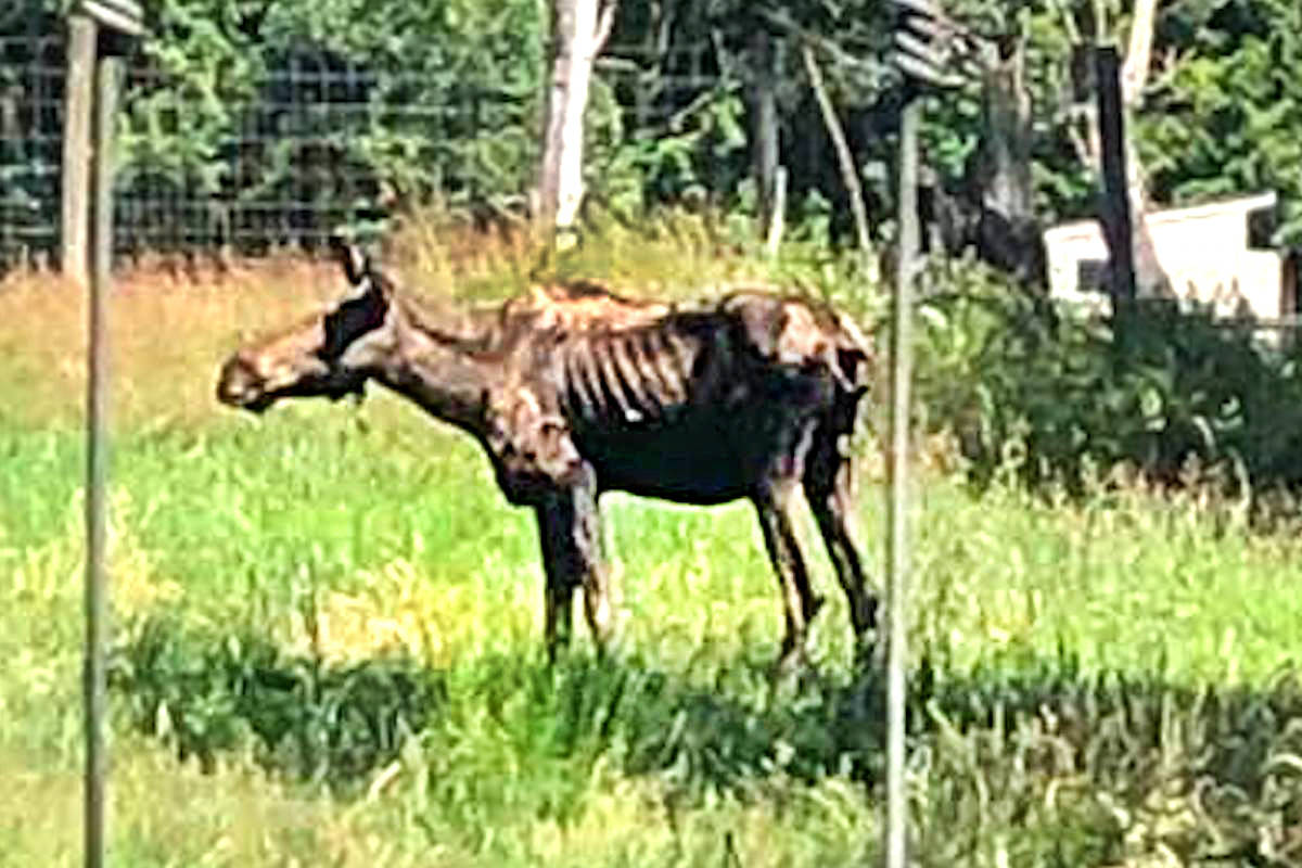 The Aldergrove zoo's eight-year-old moose, female Oakleaf, was pictured on Monday, July 20, with her ribcage visible. (Shannon Marcoux/Special to the Star)