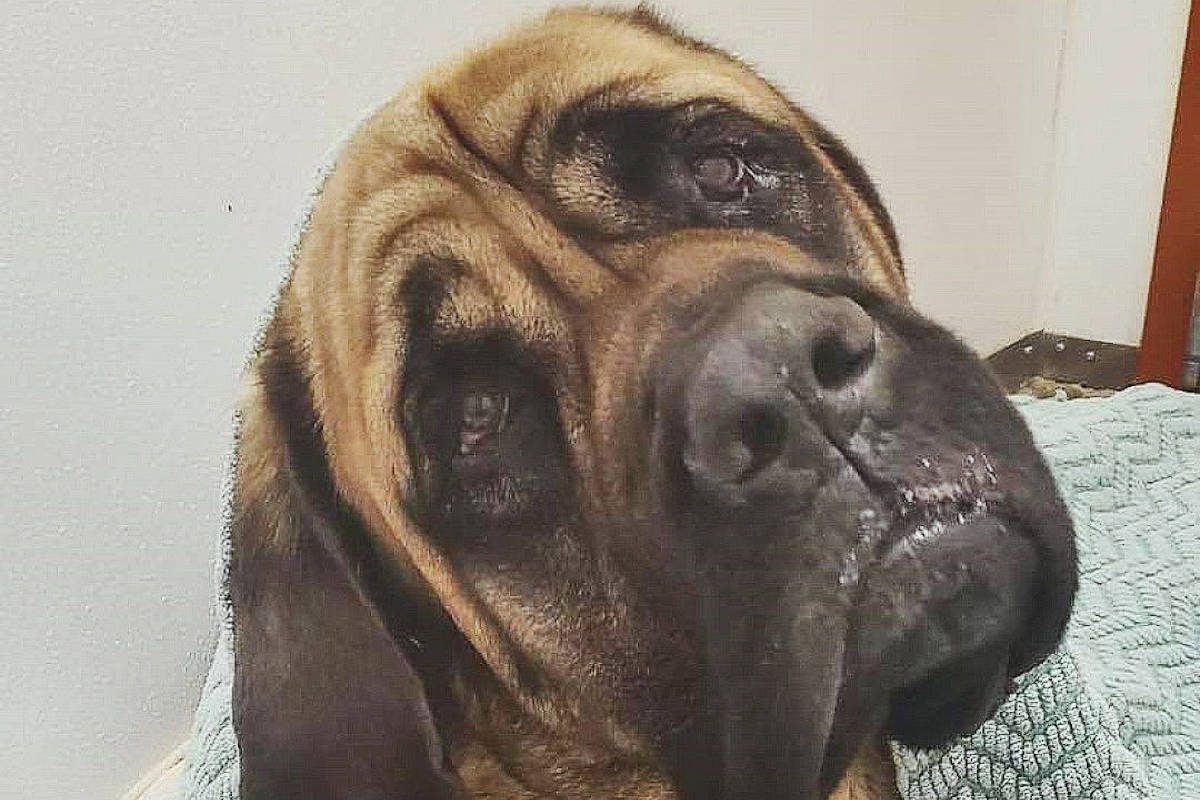 'Gentle giant' Baloo finally ready for adoption at Langley Animal Protection Society