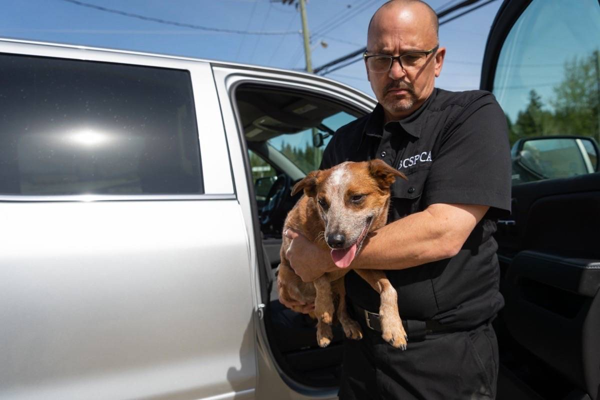A BC SPCA constable removes an overheated dog from a vehicle. Leaving pets inside vehicles during summer is never a good idea. (Photo credit: BC SPCA)