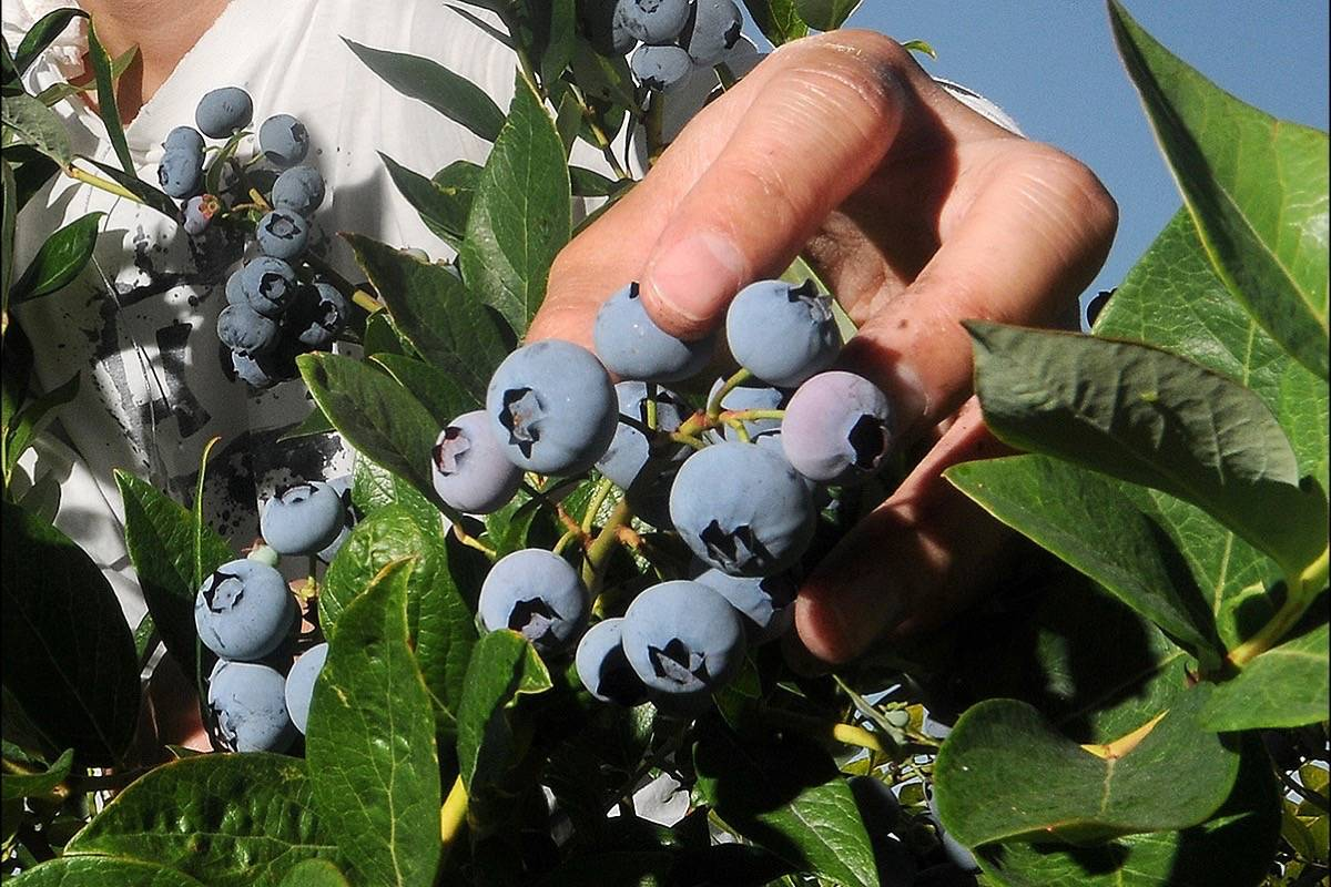 """2019 saw a record blueberry crop of 200 million pounds. The BC Blueberry Council expects yields to be down """"significantly"""" this year. Maple Ridge News file photo."""