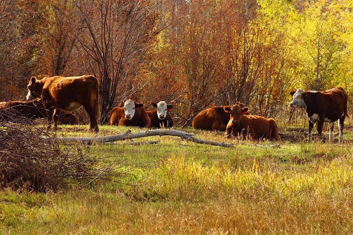 Cattle graze on the Chilcotin Plateau. B.C.'s shortage of large and small-scale slaughter and processing faciliities has been a chronic issue for B.C. governments. (Rafter 25 Ranch photo)