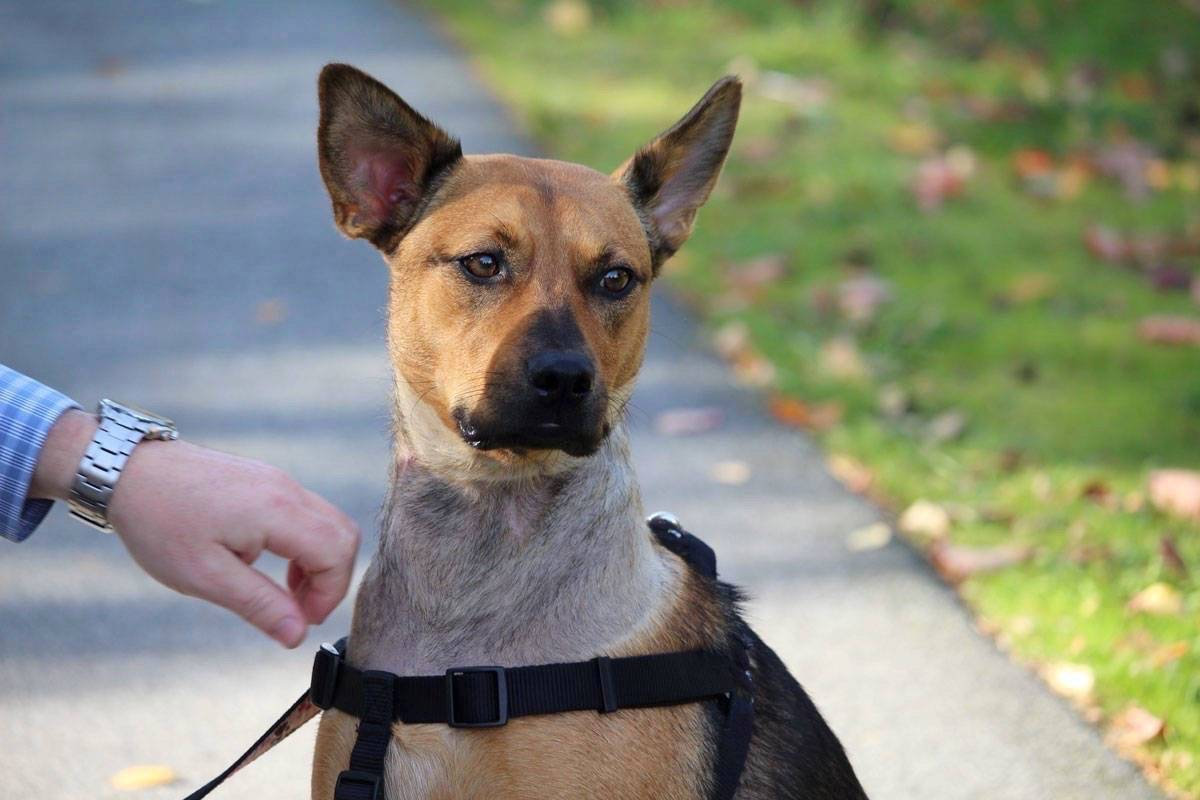 Kevin Timothy received a suspended sentence and 18 months probation on an animal cruelty charge related to his treatment of Hope (pictured), a female German shepherd that he owned before being seized by authorities. (File photo)