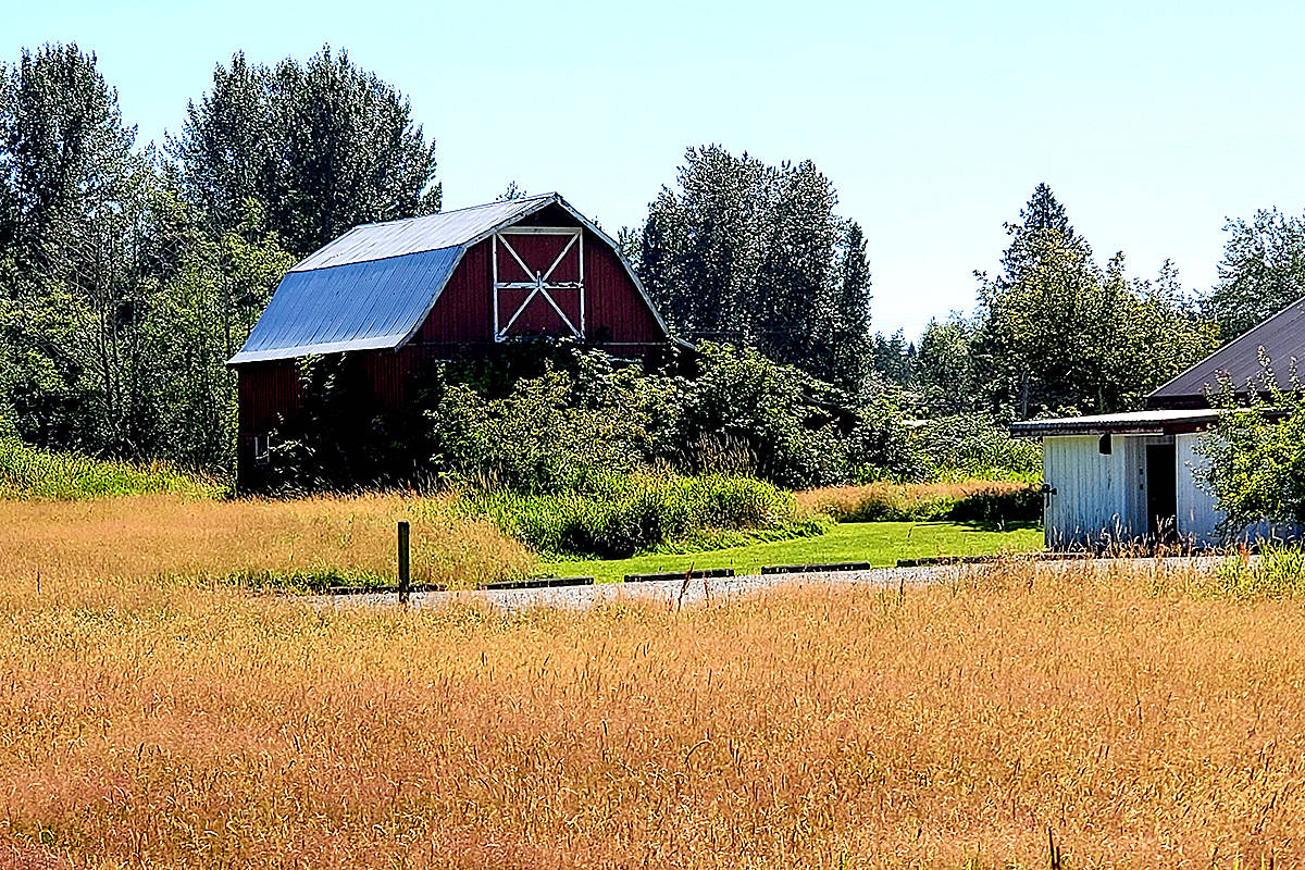 """While on an afternoon stroll along the south perimeter trail at Campbell Valley Regional park last week, Jim Orlowski captured this picture of the park office and maintenance buildings behind a sea of golden hay. """"So nice to get out for a warm day walk,"""" he shared.(Jim Orlowski/Special to Langley Advance Times)"""