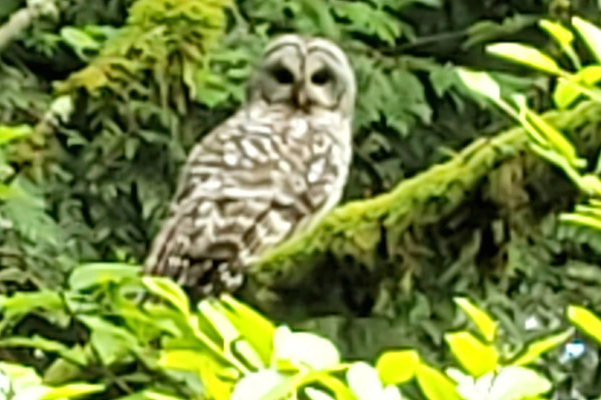 Barred owl (Jennifer Adhika/Special to Langley Advance Times)