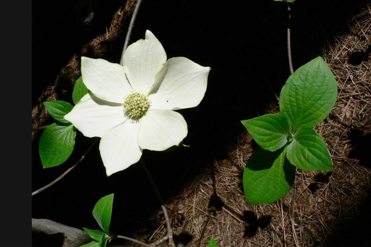 The Pacific Dogwood is the flower of British Columbia. What is British Columbia's official tree? (Walter Seigmund/Wikicommons)