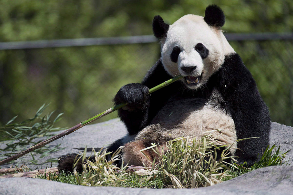 FILE – Giant panda Da Mao eats bamboo at the Toronto Zoo on Thursday, May 16, 2013. THE CANADIAN PRESS/Nathan Denette