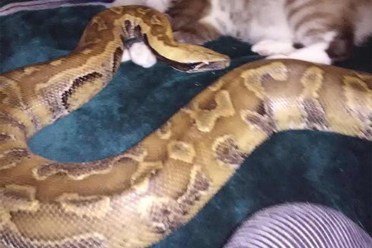 A blood python reported missing by its owner in the downtown Chilliwack area on August 6, 2020. (Facebook)