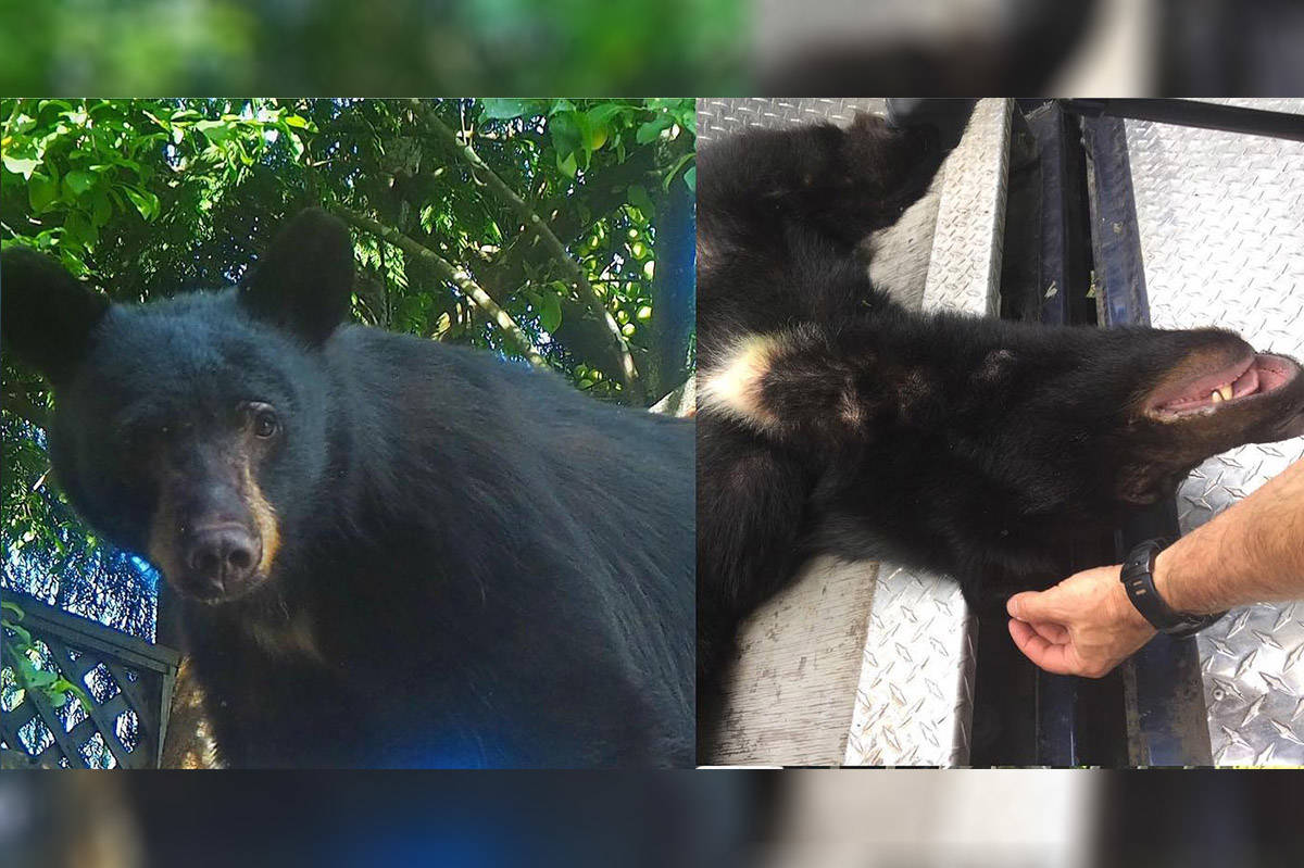 A black bear, dubbed Huckleberry by Deep Cove, B.C., residents died on July 31, 2020, after becoming conditioned to food and humans. (North Shore Black Bear Society photo)