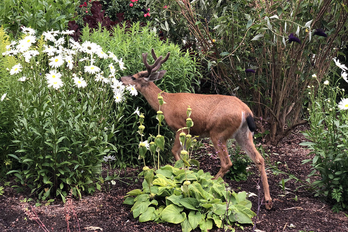 A deer pokes through the gardens at Beacon Hill Park. The Royal BC Museum is asking residents for submissions about their observations of nature and wildlife during the COVID-19 pandemic. (Nina Grossman/News Staff)