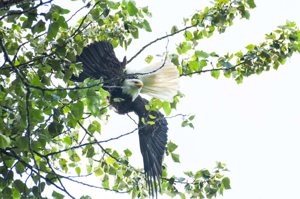 The eagle has been struck in a tree, upside down for over a day. (Liam Harrap/Revelstoke Review)