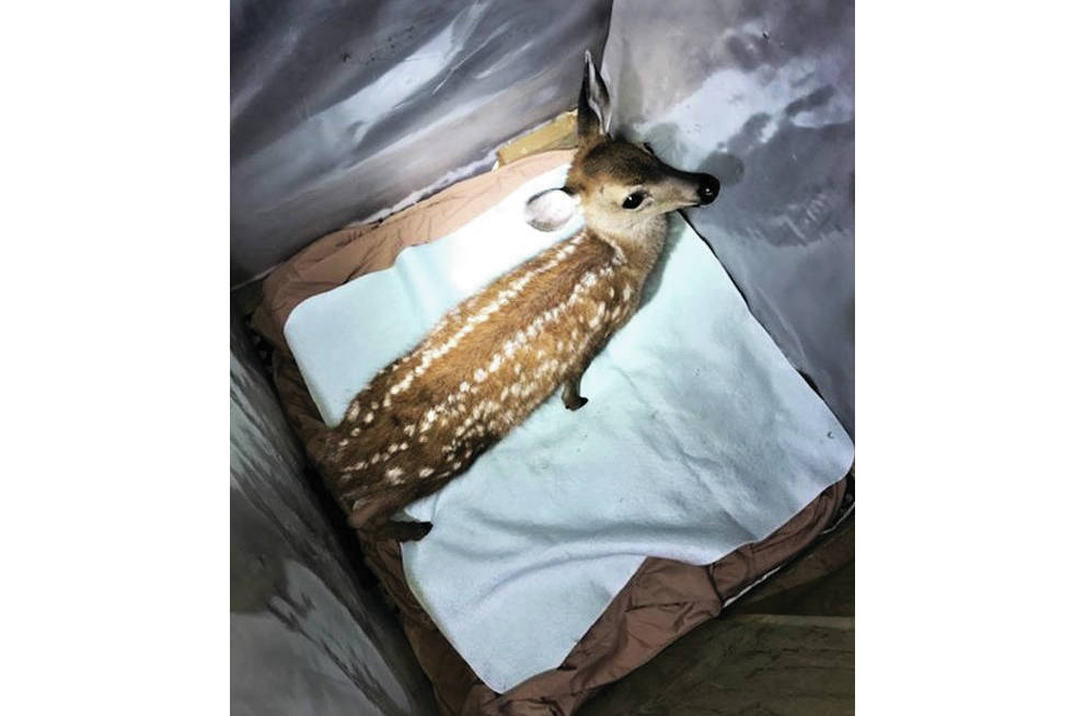 A captive fawn was seized from Cumberland home Aug. 12. Photo by BC Conservation Service