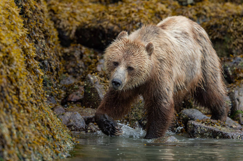A grizzly, like this one spotted on a recent Tide Rip Grizzly Adventures tour, can be distinguished from a black bear by its noticeable shoulder hump, a more dish-shaped face and its longer claws. Photo by Anthony Bucci / www.abucciphotography.com.