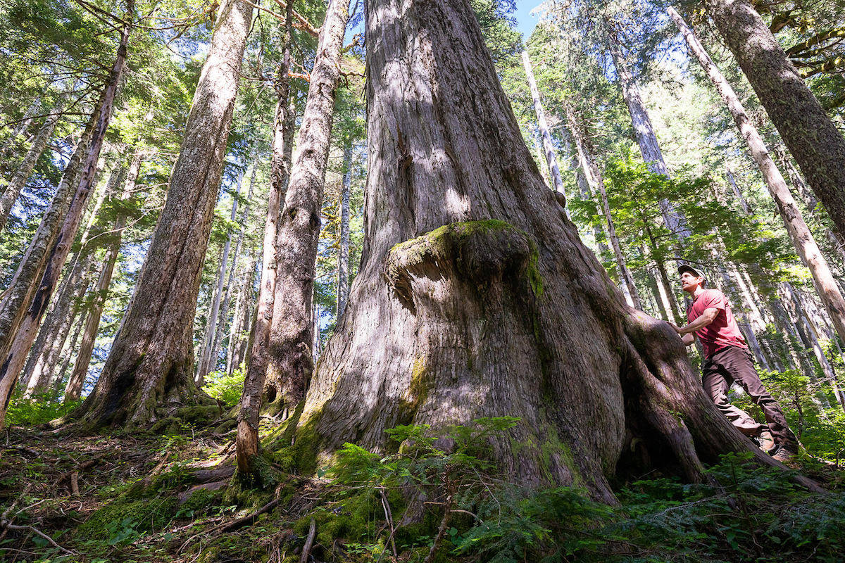 A monumental old-growth yellow cedar tree in the at-risk headwaters of Fairy Creek measuring 9.5ft in diameter, making it the 9th-widest known yellow cedar according to the BC Big Tree Registry. Photo courtesy, T J Watt