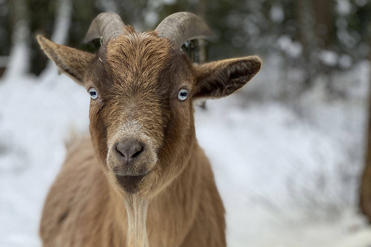 An Arizona city official making $107,000 a year resigned after an investigation found he used city workers for an outside job involving an attempt to secure irrigation water for farmers who paid him with a goat. (Black Press file photo)