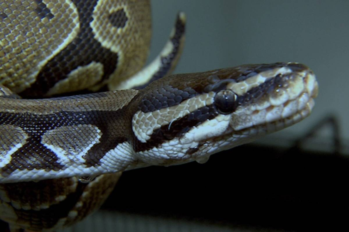 Python that went missing for a month on Vancouver Island is lost again