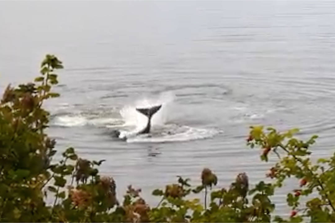 VIDEO: Orcas hunt otters off coast of Vancouver Island