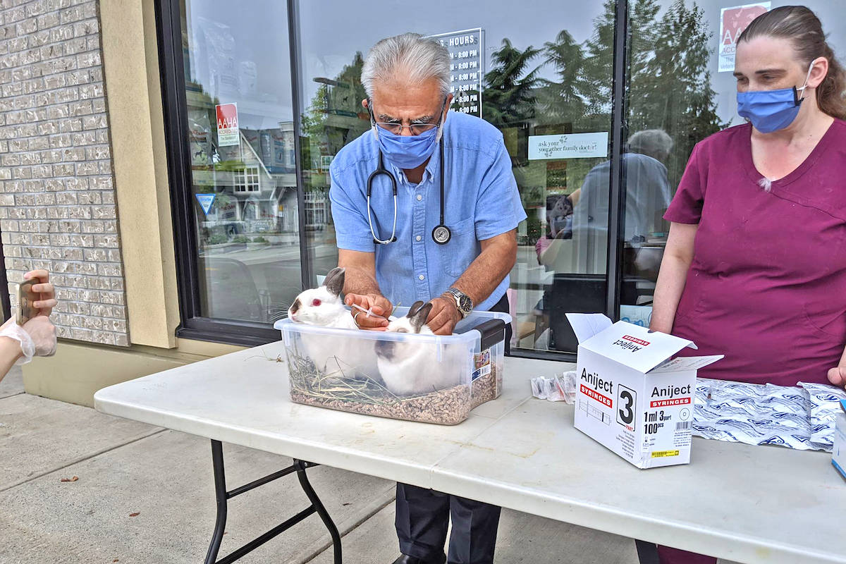 Pet rabbits were vaccinated from RHDV2 by Langley's Apex Animal Hospital on Sunday, Aug. 23. (Rabbitats Rescue Society/Special to the Aldergrove Star)