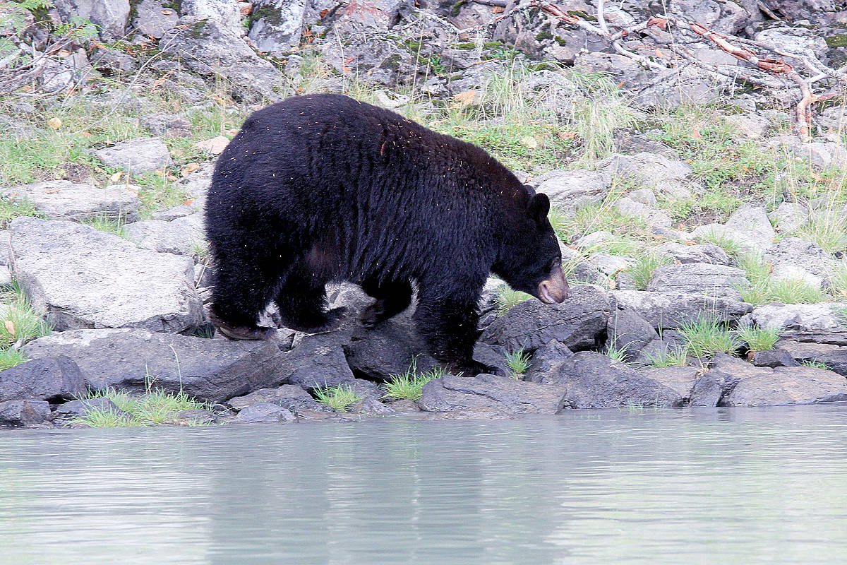 Black bears are found in every Canadian province and territory except one. Do you know which part of Canada has no black bears? (Jill Hayward photo)