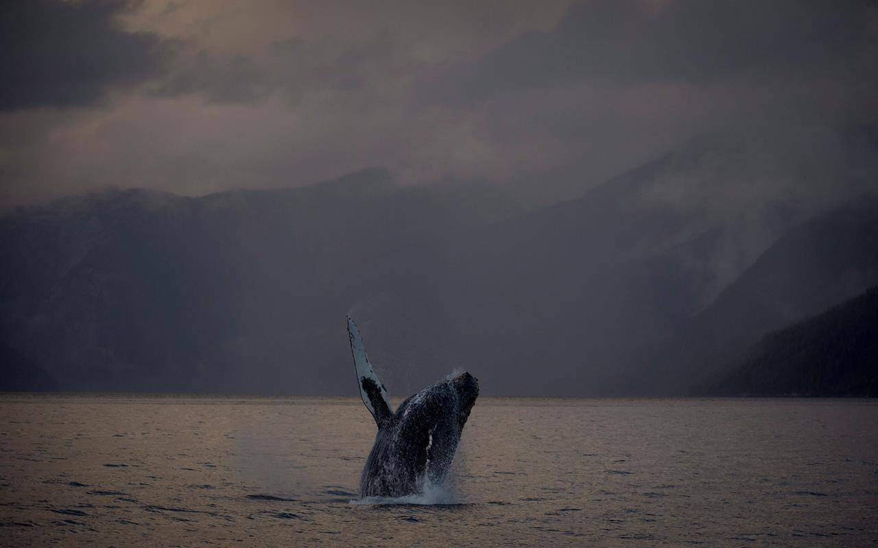 A humpback whale is seen just outside of Hartley Bay along the Great Bear Rainforest, B.C. Tuesday, Sept, 17, 2013. The head veterinarian at the Ocean Wise Marine Mammal Centre and the Vancouver Aquarium says if animals are unable to forage with gear restricting either the mouth or impairing ability to dive and swim, then they will starve to death. THE CANADIAN PRESS/Jonathan Hayward