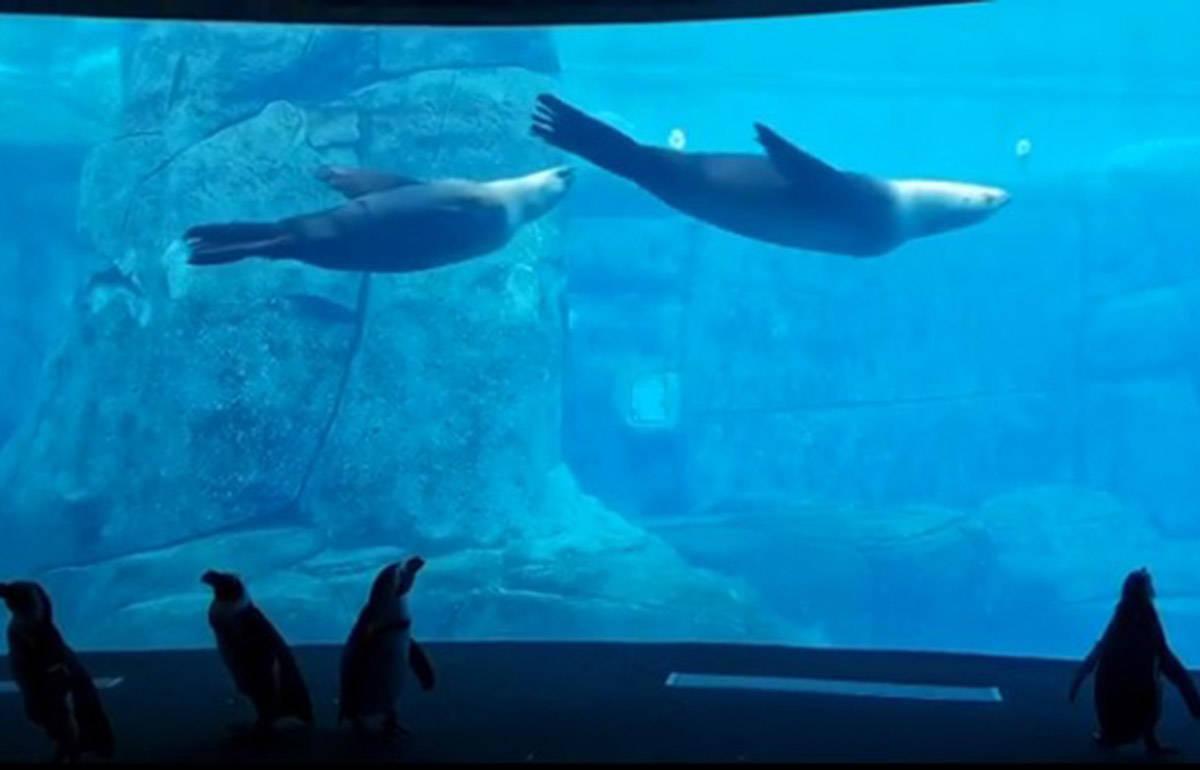 A group of penguins watch sea lions swim at the Vancouver Aquarium. (Vanaqua/Instagram)