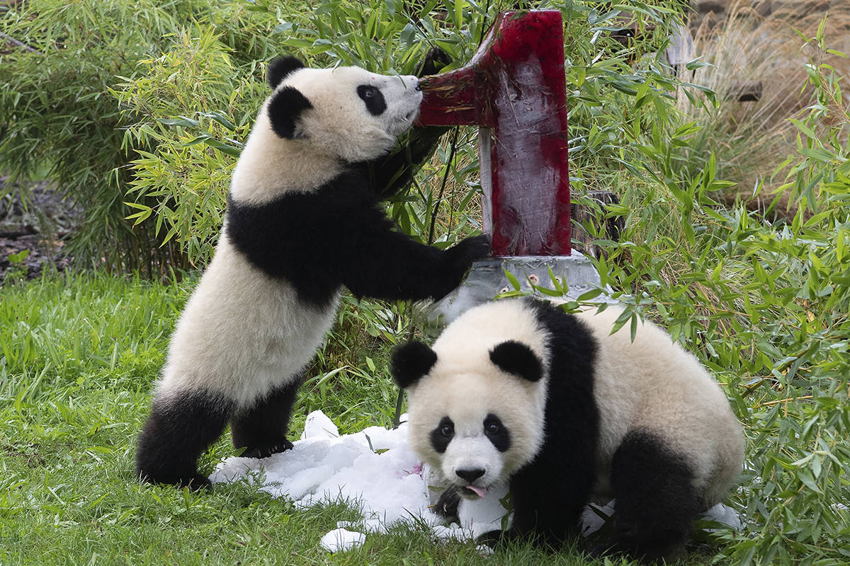 Two young pandas Meng Xiang (nickname Piet) and Meng Yuan (nickname Paule) eat an ice cream cake in their enclosure during their first birthday in Berlin, Germany, Monday, Aug. 31, 2020. (Paul Zinken/dpa via AP)