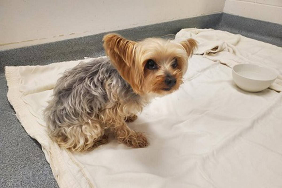 Lucy the Yorkshire terrier is home safe and sound. (Burnaby RCMP)