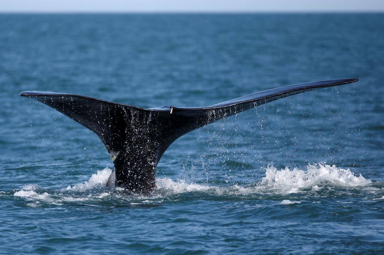 A North Atlantic right whale appears at the surface of Cape Cod bay off the coast of Plymouth, United States on March 28, 2018. A wildlife organization says species that are at risk of global extinction have seen their Canadian populations decline by an average of 42 per cent in the last 50 years. THE CANADIAN PRESS/AP, Michael Dwyer