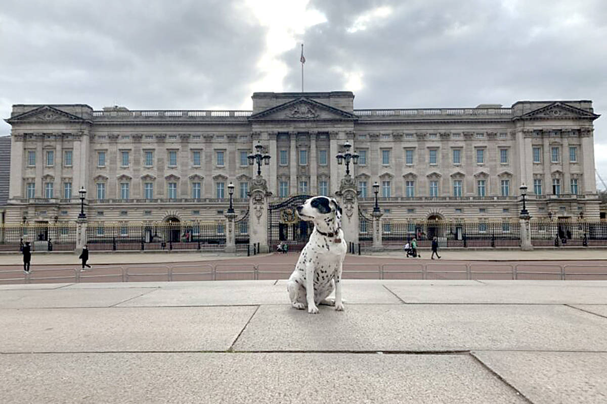 Tika, a Dalmatian originally rescued from a south Cloverdale puppy mill in 2015, sits in front of Buckingham Palace in London. (Stephanie Goldberg photo)