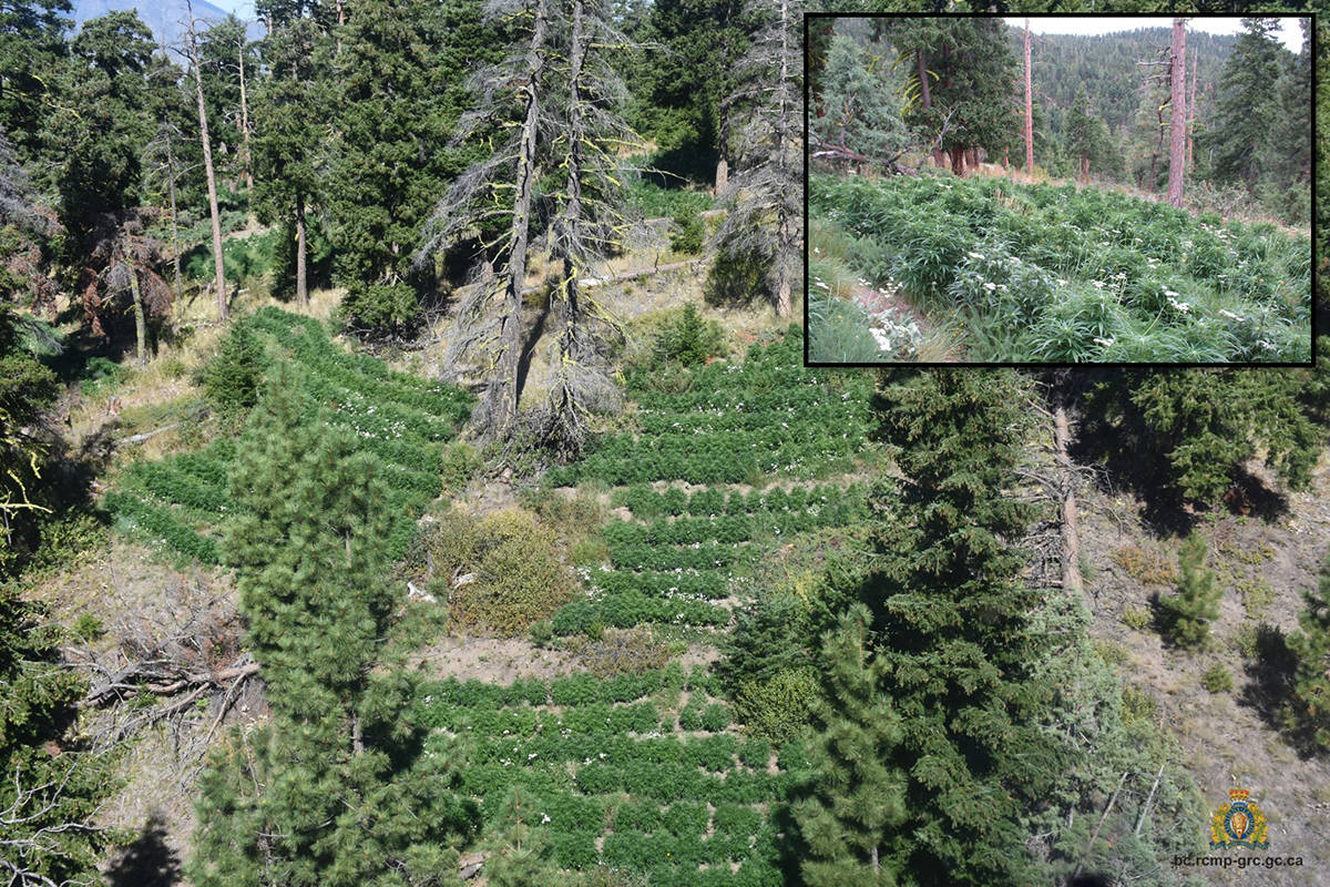 Officers were in the RCMP Air Services helicopter, dubbed Air 4, on Aug. 28, 2020, when they discovered an illegal grow operation near Lytton, B.C. (RCMP handout)
