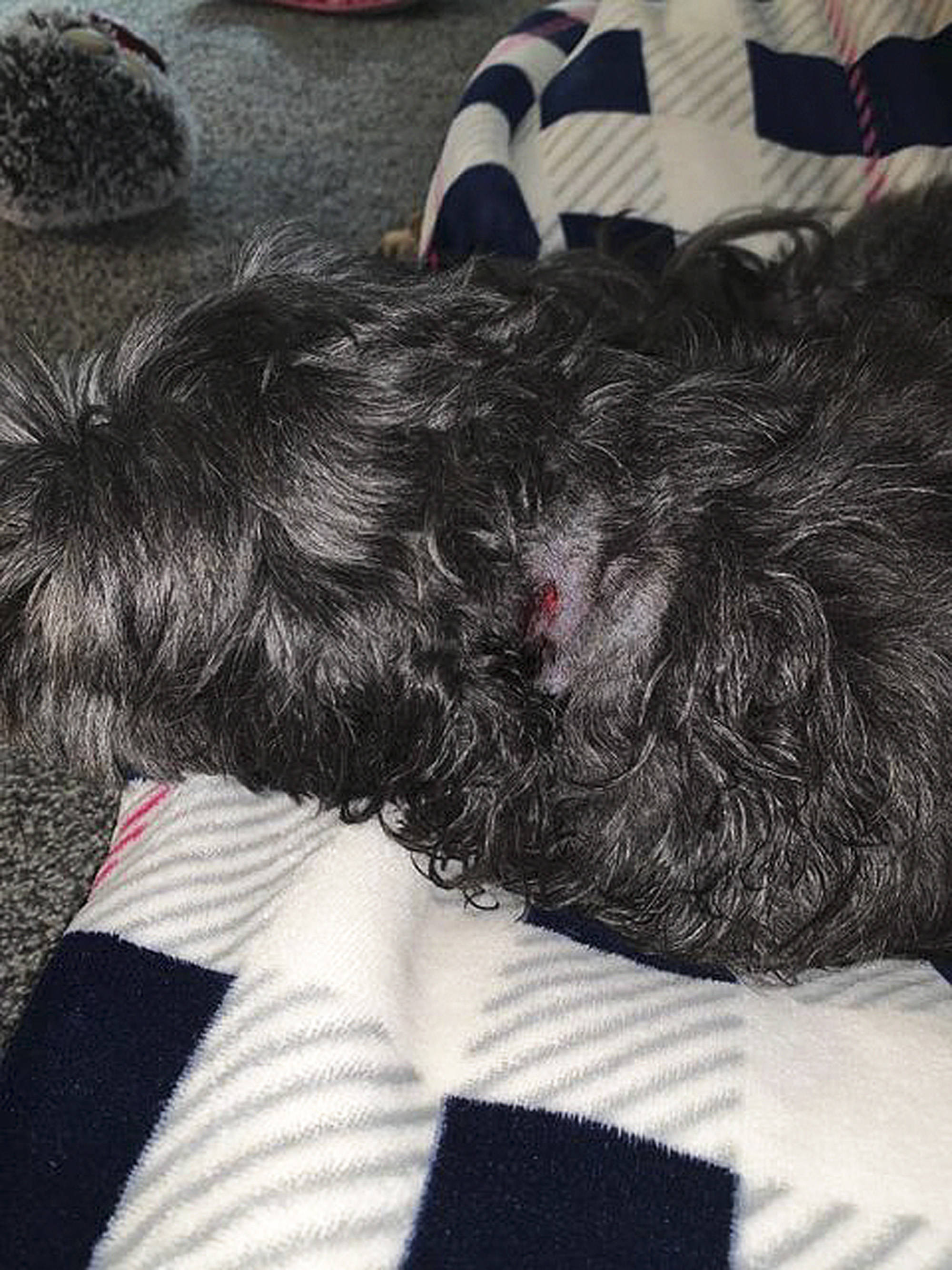 Jeanine Armillotta's dog Quila was attacked and injured by a pit bull at Canoe Beach on Aug. 31. (Contributed)