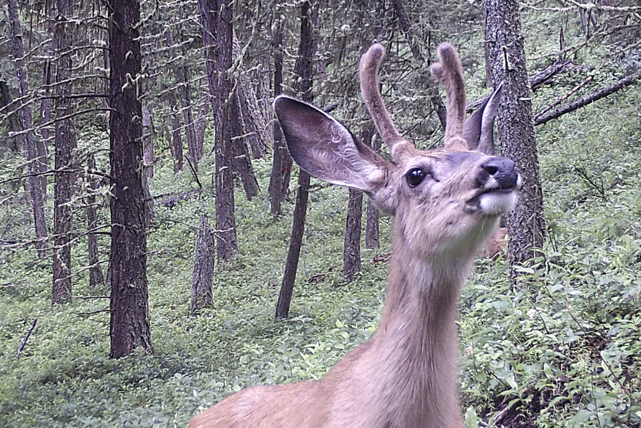 While chronic wasting disease has not yet been detected in B.C., 64 white-tailed deer, mule deer and moose in the area around Libby, Montana have been discovered with the disease since June 2019. CWD is also found in Alberta. (Sam Fait photo)