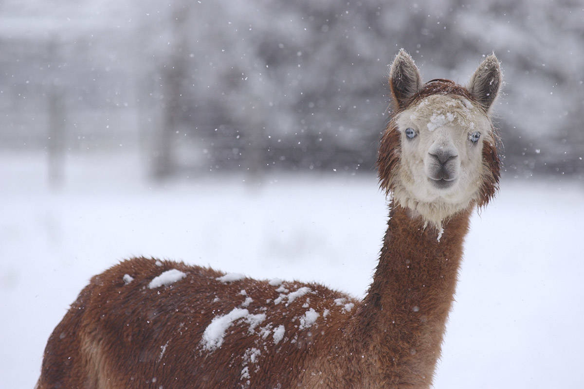 Thursday, Sept. 10 is Alpaca Day. Pictured here is an alpaca in snowy Chilliwack on Jan. 10, 2007. (Jenna Hauck/ Chilliwack Progress file)