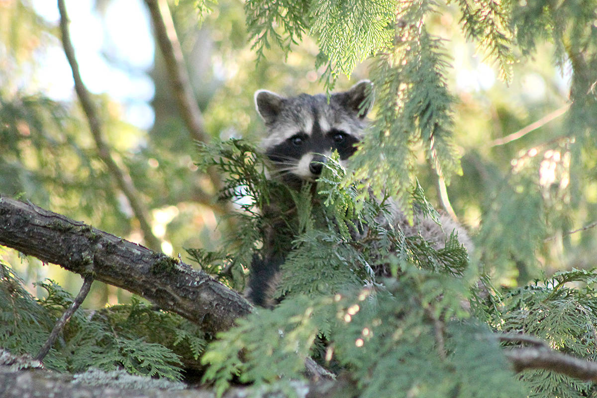 Anngela Bayer shared a few pictures from the last days of summer in her Brookswood backyard, everything from the last blooming lilies to a baby raccoon sneaking a peek from an overhead cedar. (Special to Langley Advance Times.