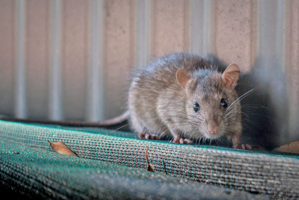 Many B.C. cities play host to large rat populations. The latest Orkin Rodent Rankings list is now out, with Vancouver number one. (Black Press File)
