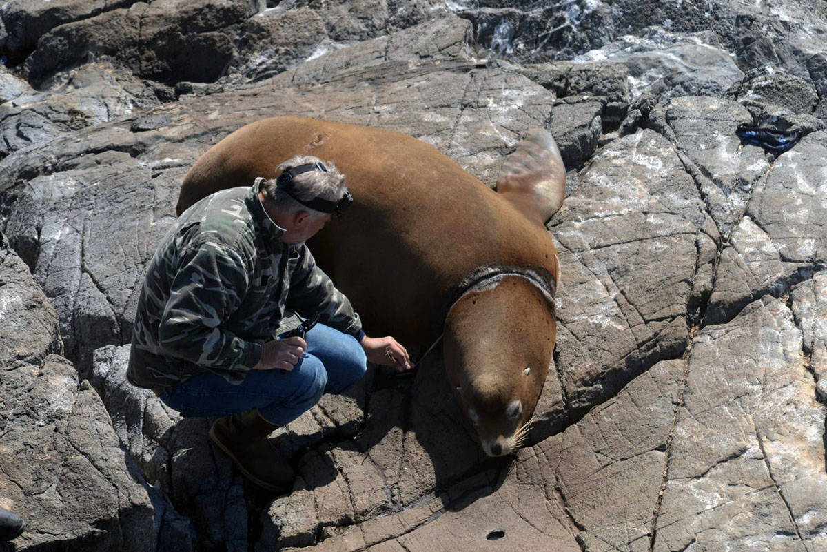 A Marine Mammal Rescue Centre veterinarian removes a plastic packing band from the neck of a Stellar's sea lion at the Race Rocks Ecological Reserve on Sept. 10. (Courtesy of Mara Radawetz)
