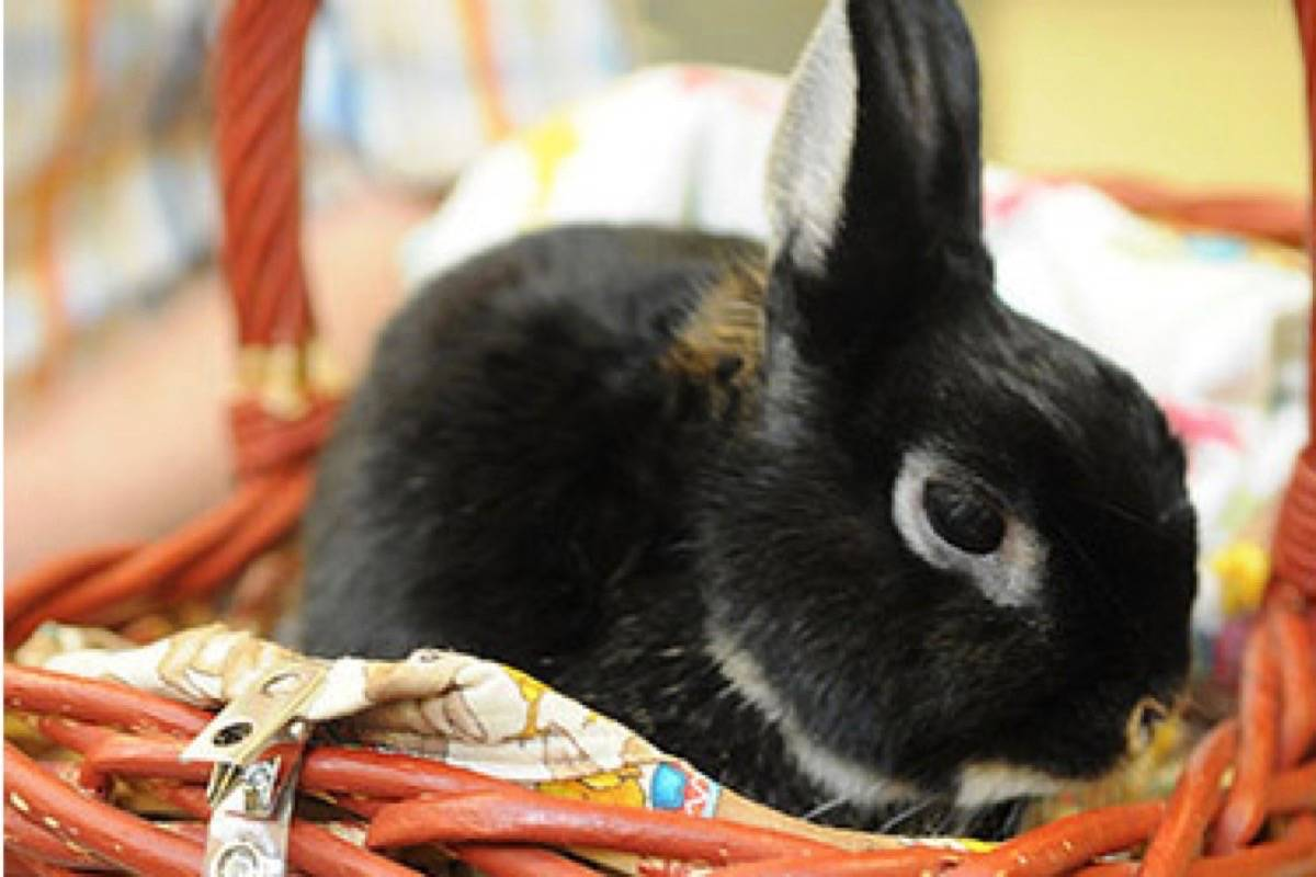Saturday, Sept. 26, 2020 is Rabbit Day. Seen here is volunteer rabbit Rupert Bunny who is known for visiting patients and staff at Chilliwack General Hospital. (Jenna Hauck/ Chilliwack Progress file)