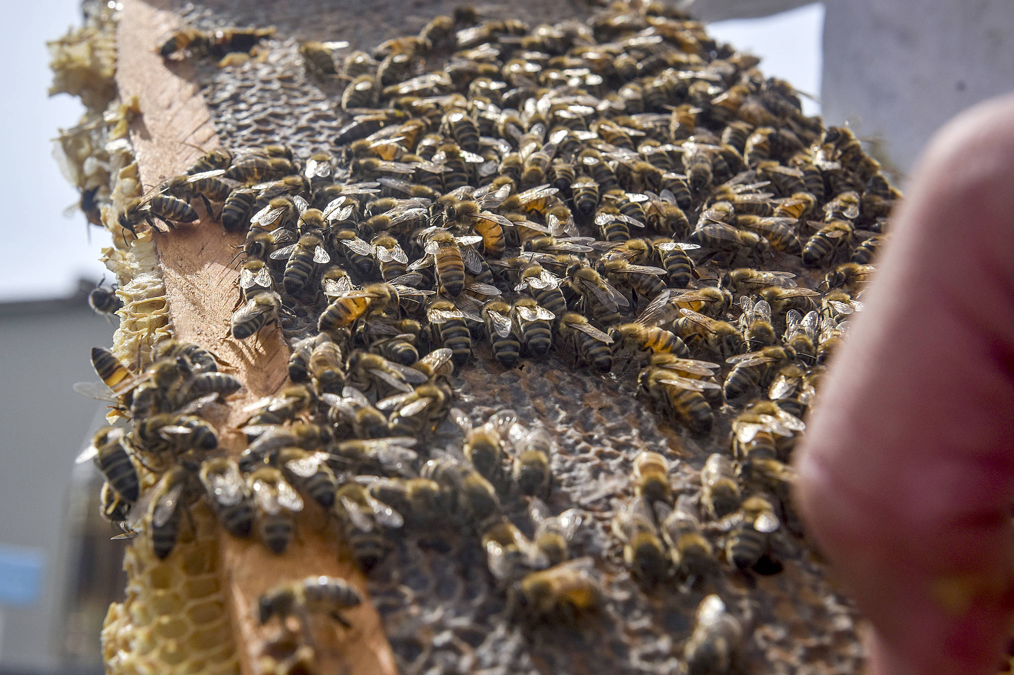 Toni Burnham, president of DC Beekeepers Alliance, checks on the health of a honey bee colony where DC Water keeps four beehives on the rooftop of one of its buildings, on , June 22, 2017 in Washington. (Washington Post photo by Jahi Chikwendiu)