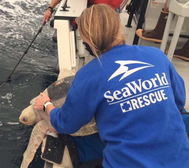 Berni the olive ridley sea turtle was released into warmer waters off the coast of California. (PHOTO COURTESY MARINE MAMMAL RESCUE)