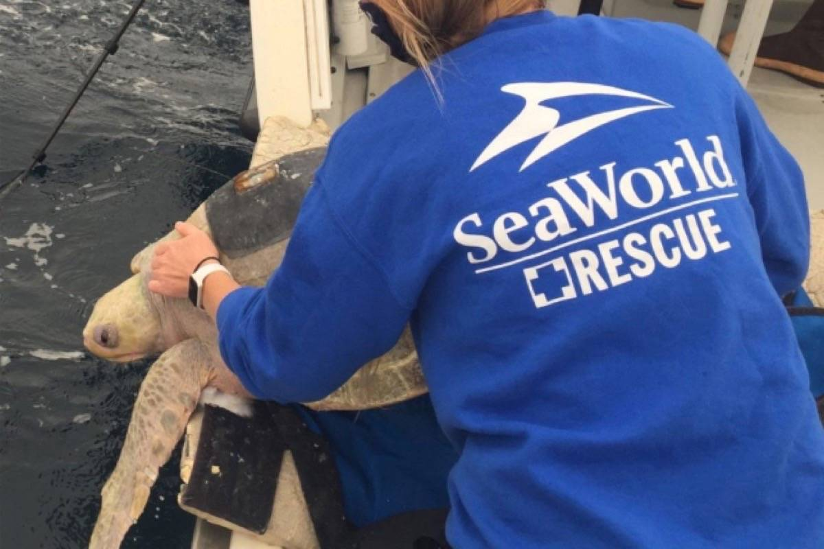 Berni the olive ridley sea turtle was released into warmer waters off the coast of California. (PHOTO COURTESY MARINE MAMMAL RESCUE)