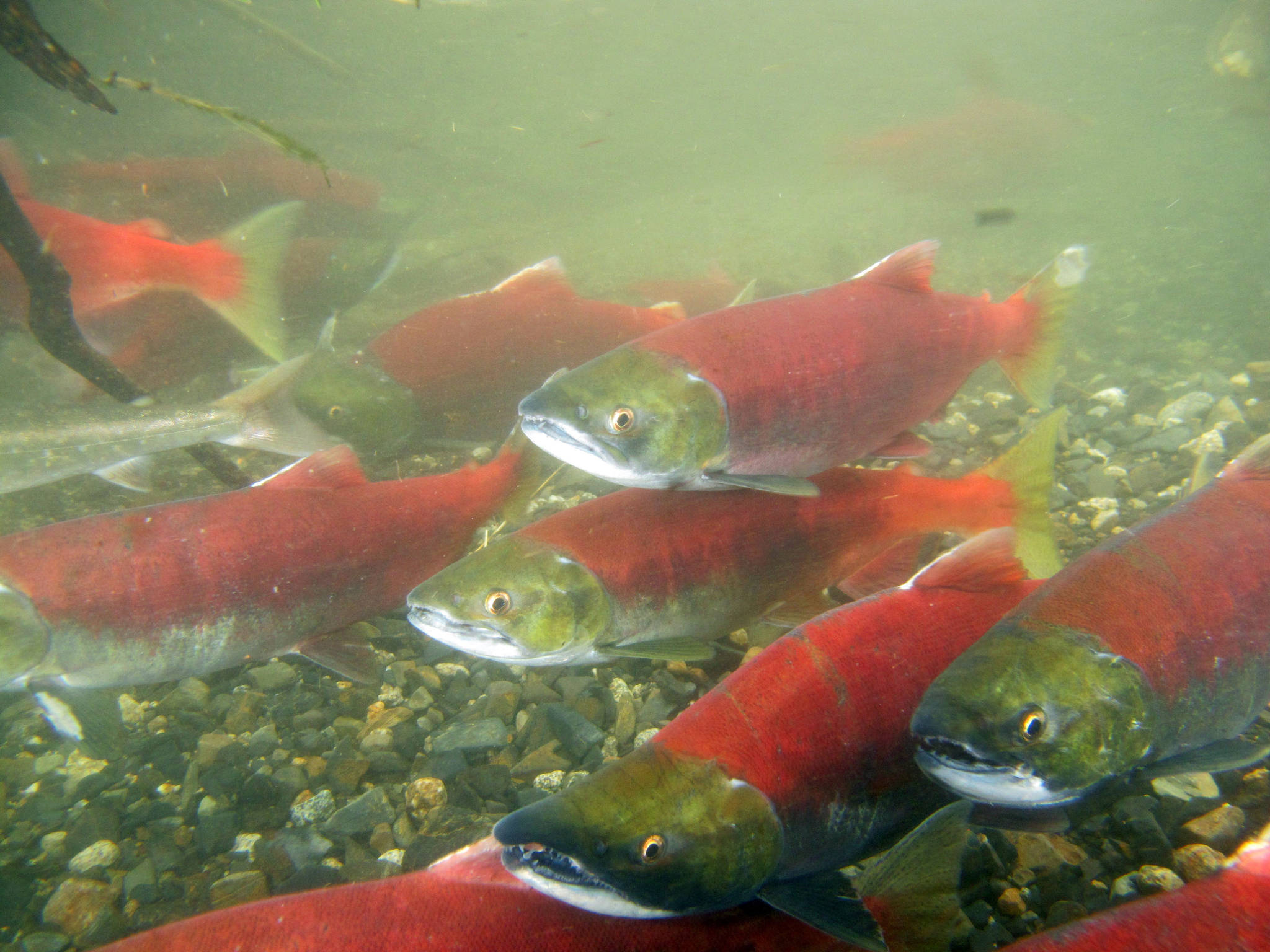 Sockeye salmon school in a small Bristol Bay creek in the summer of 2018. Municipal leaders will be voting on a resolution at the 2020 Union of B.C. Municipalities Convention for more nature-based solutions in flood management that doesn't compromise salmon habitat. (Courtesy Photo | Mary Catharine Martin)