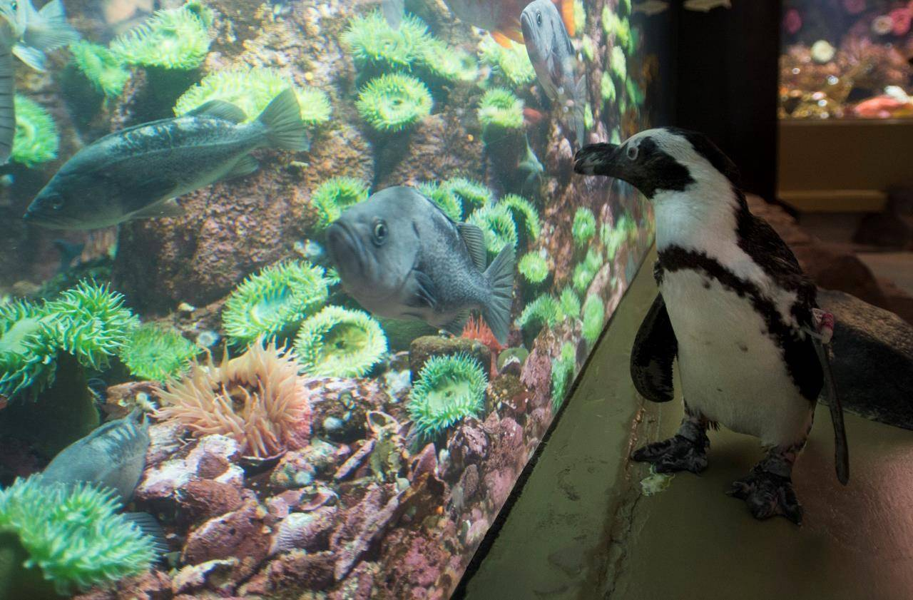 A South African penguin pauses to watch the fish in a exhibit during her exercise walk through the aquarium Thursday, September 10, 2020. The Vancouver Aquarium has had to close its doors to the public due to the lack of visitors during the COVID-19 pandemic. THE CANADIAN PRESS/Jonathan Hayward