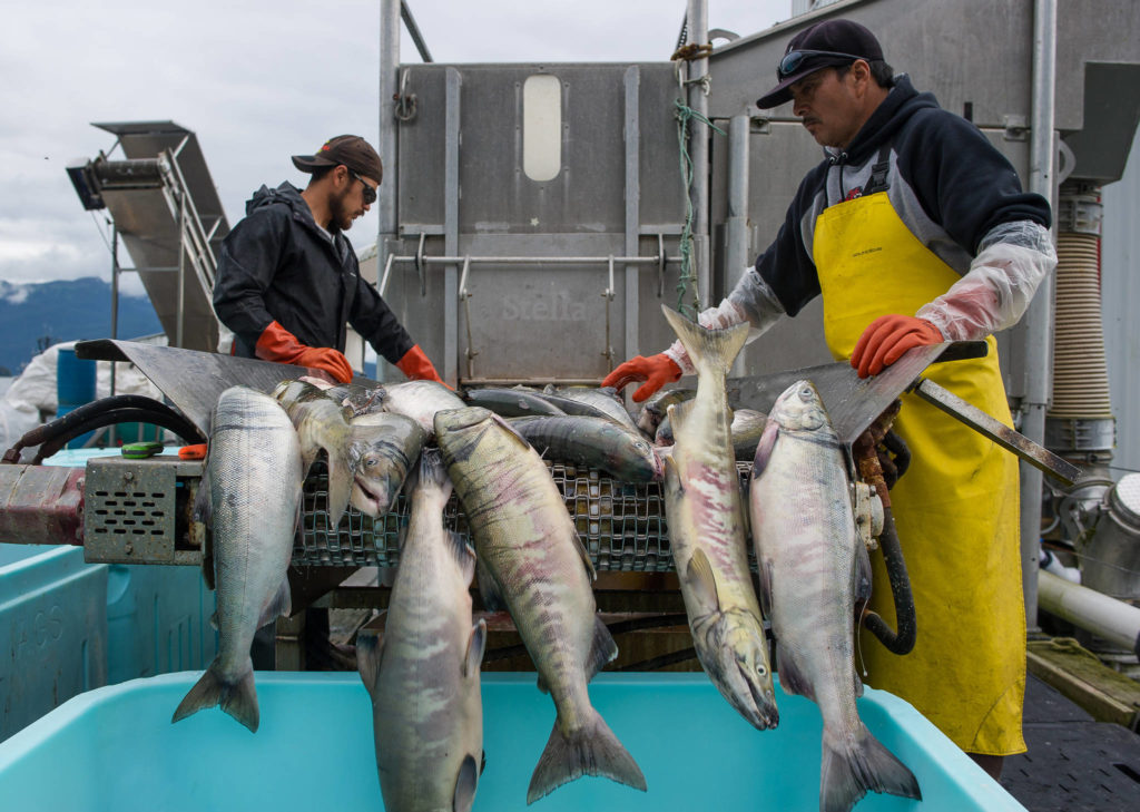 Wild chum salmon are delivered to Alaska Glacier Seafoods. In 2019 B.C. exported $4.7 billion worth of seafood and other food & beverage products to 152 different international markets. Farmed Atlantic salmon outsold all other products with an export value of $562 million. (file photo)