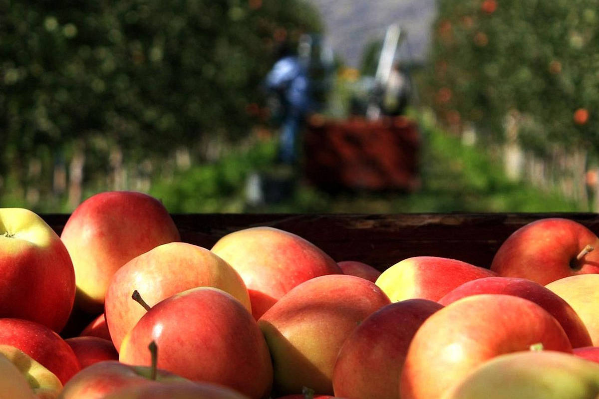 Apples are a prominent crop in British Columbia and elsewhere in Canada. (Photo courtesy Summerland Varieties)