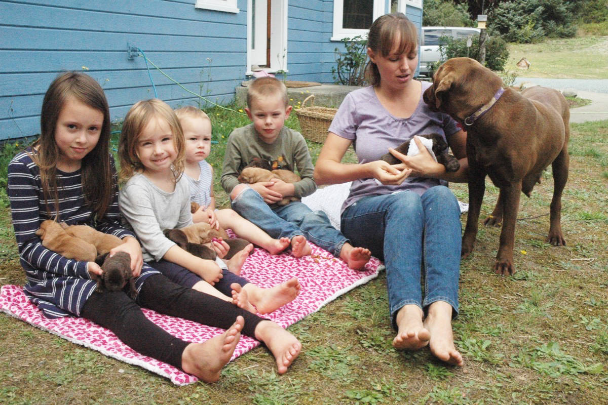Vancouver Island family overwhelmed with 14 Lab puppies
