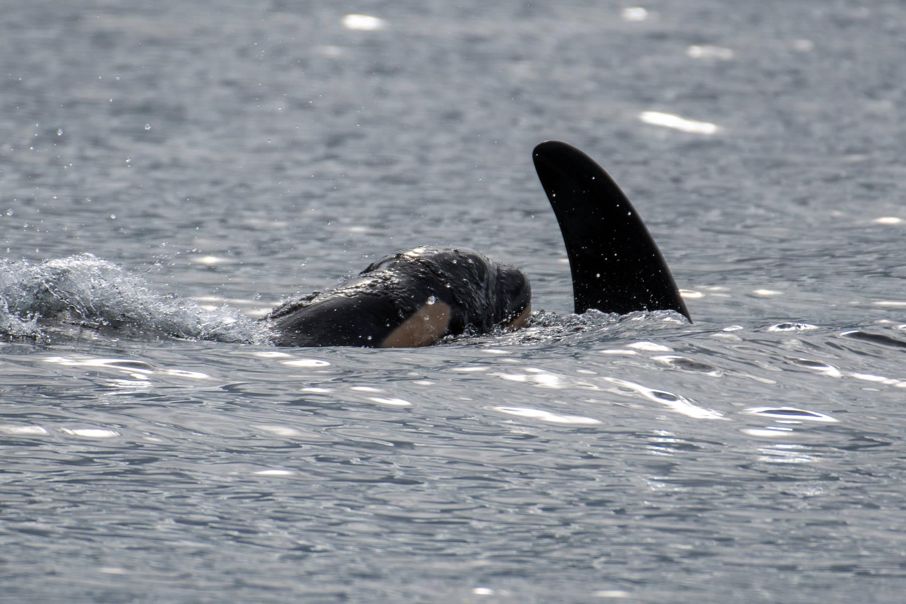 J Pod's newest calf, born Sept. 24, 2020 surfaces next to mother J41. (Leaha Vanderwiel/Orca Spirit Adventures/Pacific Whale Watch Association)