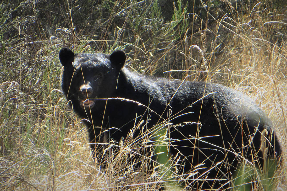 A black bear similar to this one charged at a Summerland woman bike riding on Conkle Mountain in Summerland (September 2020.) (Black Press file photo)