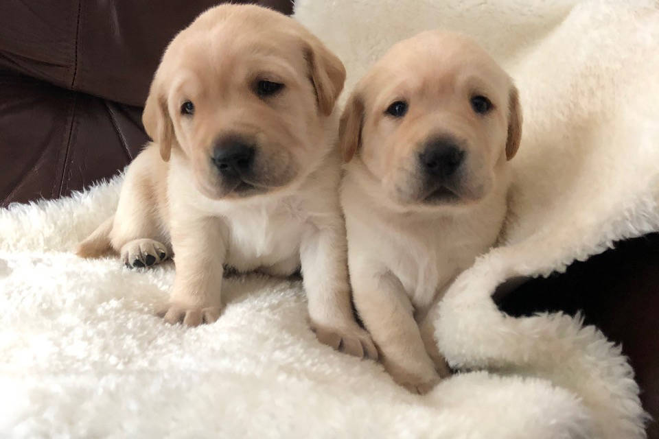 'Bonnie' and 'Henry' among latest litter of service dog puppies