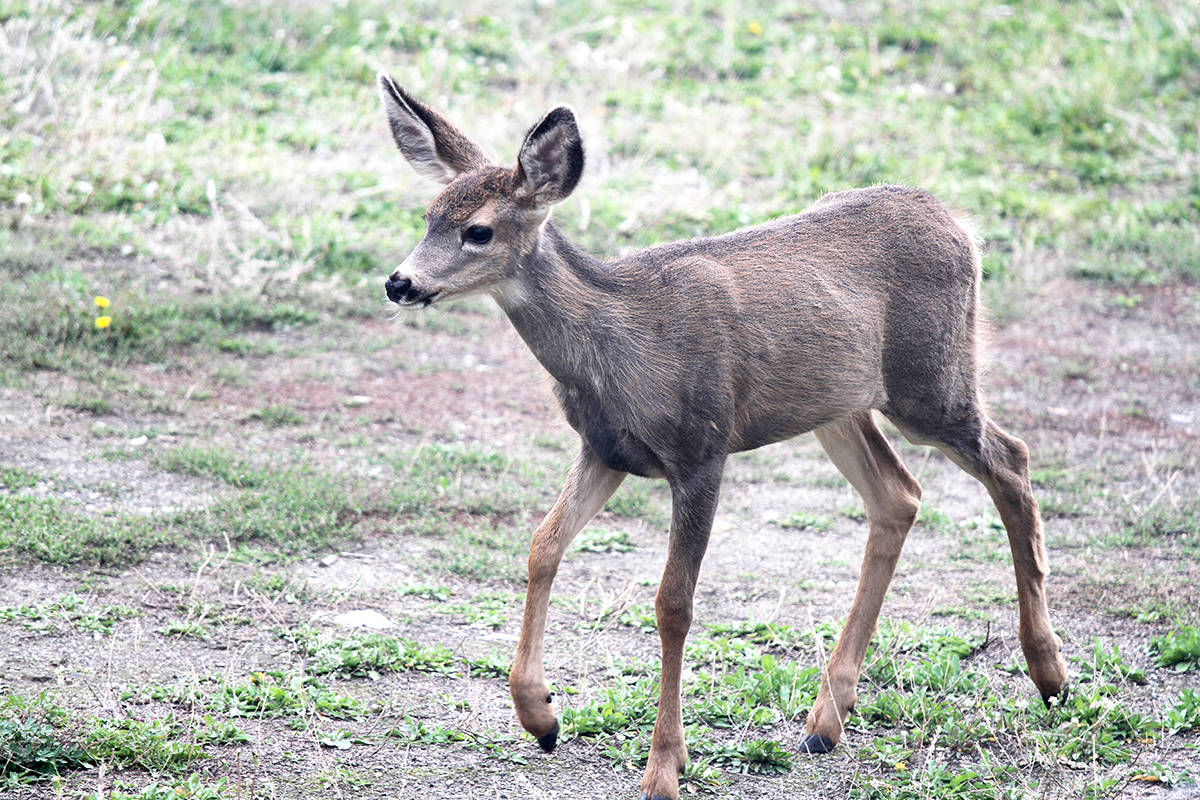 Province tracks potential deadly deer virus outbreak on Gulf Islands
